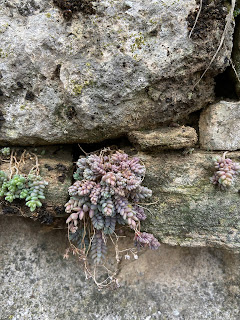 Photo of Sedum dasyphyllum on a wall in Bergamo.