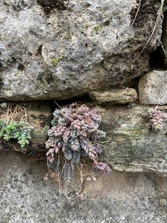 Photo of Sedum dasyphyllum on a wall in Bergamo.