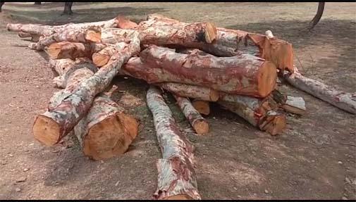प्रतिबंधित कहवा पेड़ों की अवैध कटाई, जिम्मेदारों ने आँखों में पट्टी बांधकर दे दी है मौन स्वीकृति !