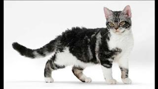 gambar kucing American Wirehair