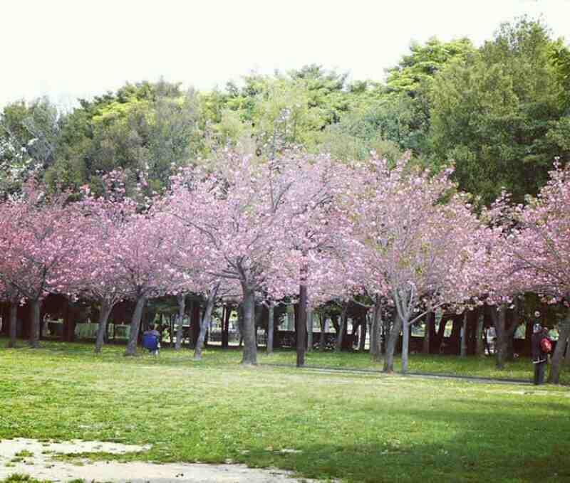 Lokasi Harga Tiket Masuk Taman Sakura Cibodas Bogor Htm