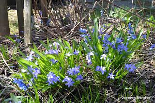 Kevättähtiä ja idänsinililjoja