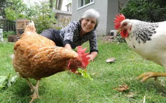الغذاء الذى يجب توفره للدجاج البلدي:-