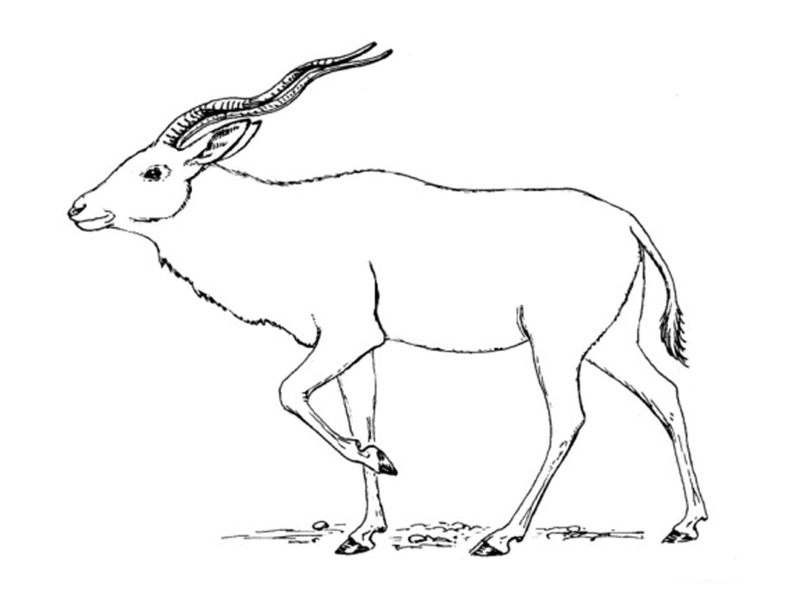 antelope coloring pages - photo#32