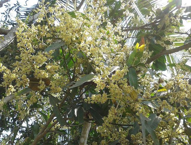 Hoa Xoài - Mangifera indica - Nguyên liệu làm thuốc Chữa bệnh Mắt Tai Răng Họng