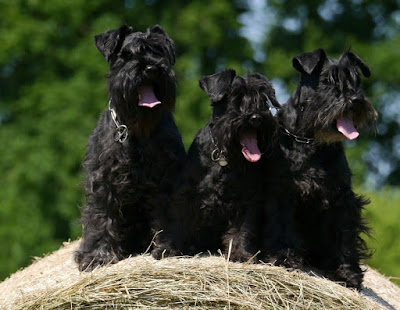 Black dog breeds, black and white dog breeds