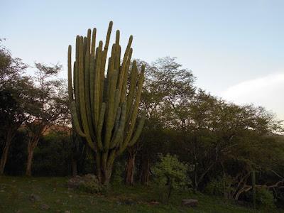 Cactácea en Sierra de Huautla
