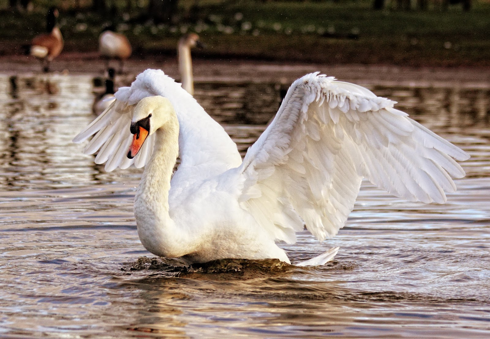 white-swan-birds-images