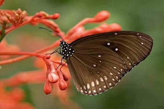 Butterfly and blackbee love story