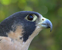 Closeup of head with large eye, Peregrine falcon – photo by Greg Hume