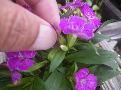 花がら摘み 手
