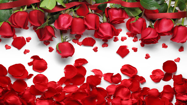 wallpaper mawar merah hd