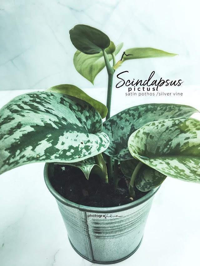 Pokok Scindapsus Pictus Spesis Sirih Gading Yang Cantik