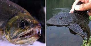 ikan terlarang masuk ke indonesia