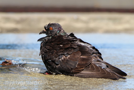 Bathing Pigeon