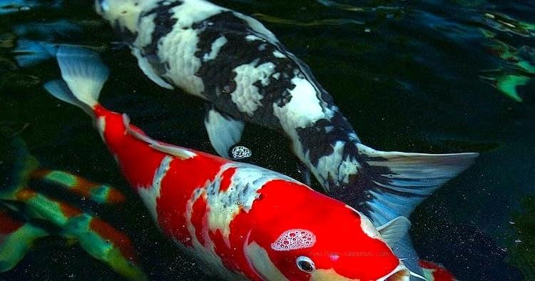 Jenis-jenis Ikan Koi - Susur Galur Varieti   OOPOCOT