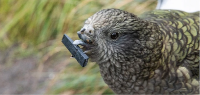 Bruce, a kea with no upper beak, holding an object with his tongue and lower beak.