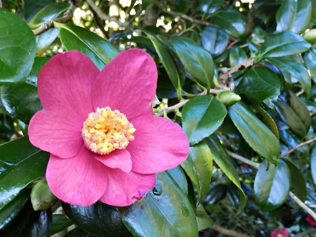 Pink camellia in Cornwall