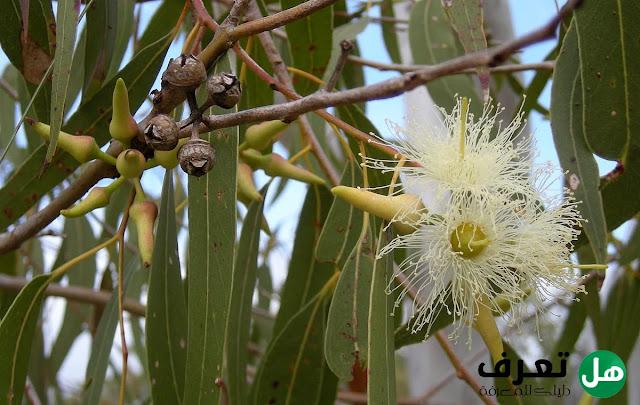 ما هي أهم المعلومات عن شجرة الكينا ؟the most important information about the eucalyptus tree
