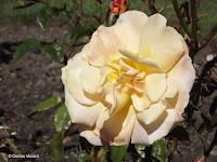 City of Auckland rose - Wellington Botanic Garden, New Zealand