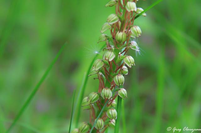 L'Homme pendu (Orchis anthropophora)