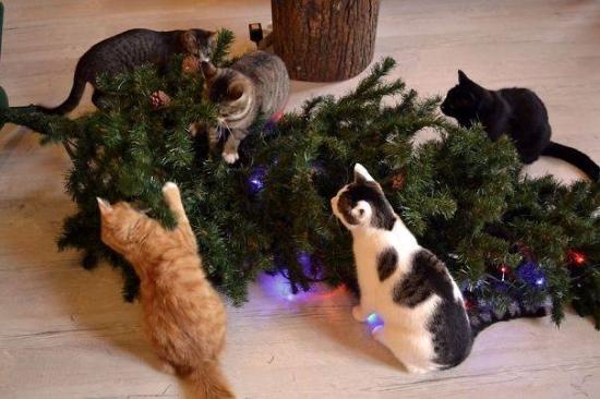 Pisicile strang bradul de Craciun