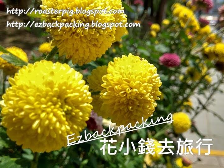 香港乒乓菊