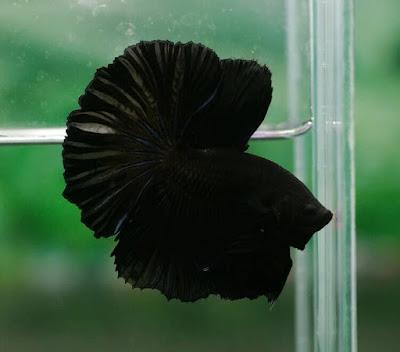 Halfmoon Full Black