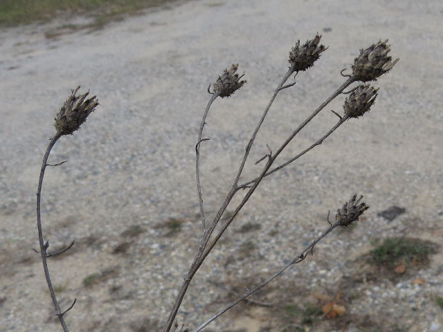 spotted knapweed seed heads