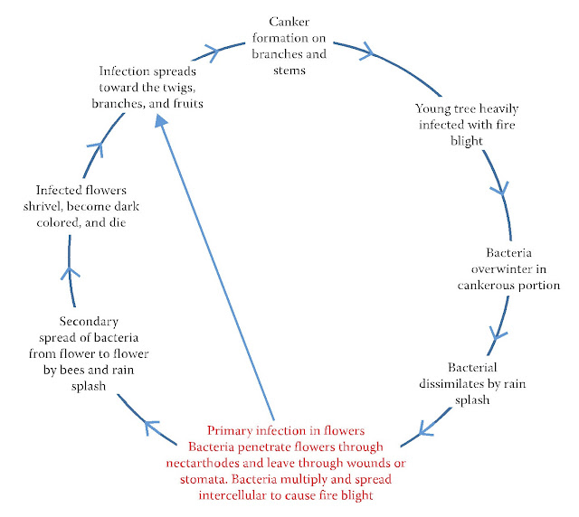 Disease cycle of fire blight of pear and apple caused by E. amylovora.
