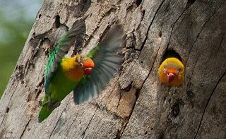 Unduh 88 Foto Gambar Burung Lovebird Alam Liar HD Terbaru Gratis