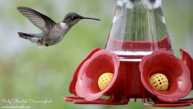 everything you need to know about hummingbirds
