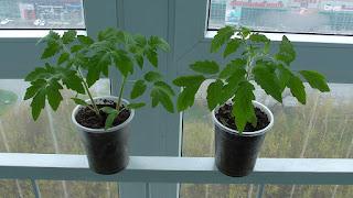 Моя рассада помидоров в начале мая