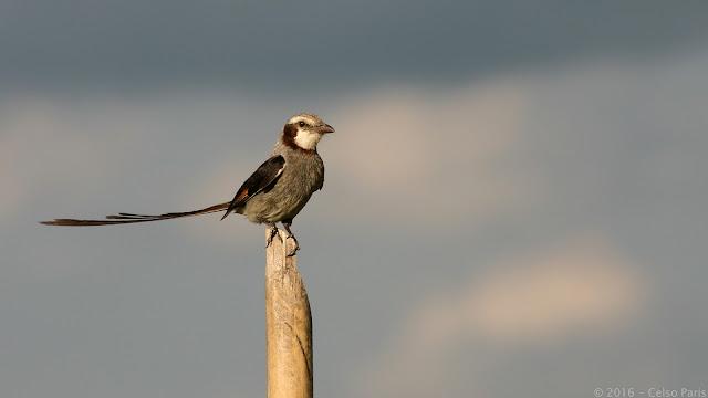 Streamer-tailed Tyrant Gubernetes yetapa Tesoura-do-brejo Yetapá Grande