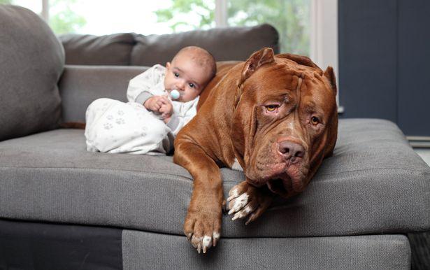 World's Biggest Pit Bull 'Babysit