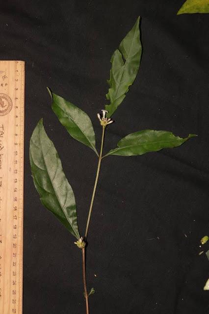 Morinda persicifolia
