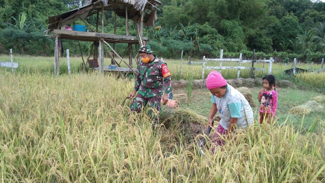 Bentuk Kemanunggalan TNI, Babinsa Koramil 01/Tenggarong Bantu Petani Panen Padi di Desa Binaannya