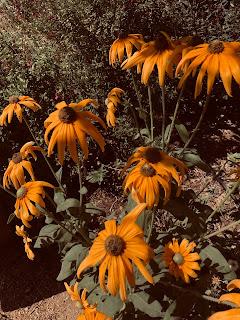 Rudubecia yellow cone flowers