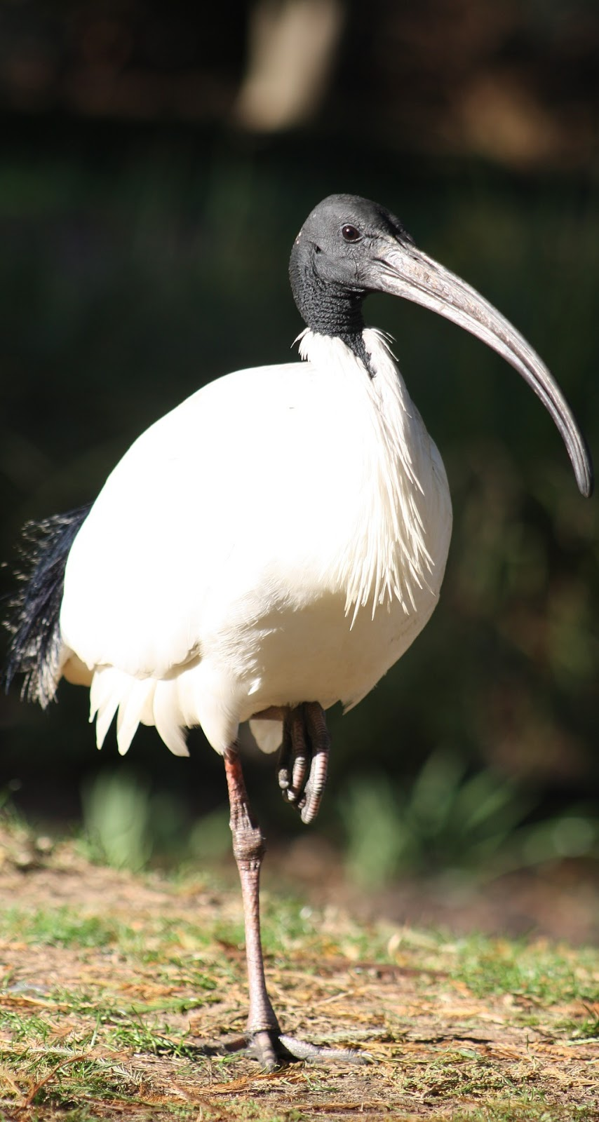 Picture of Australian white ibis.