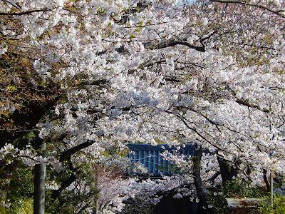 浄妙寺参道の桜