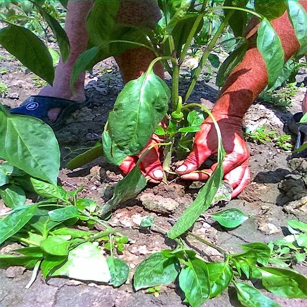 defolierea primelor frunze la ardei