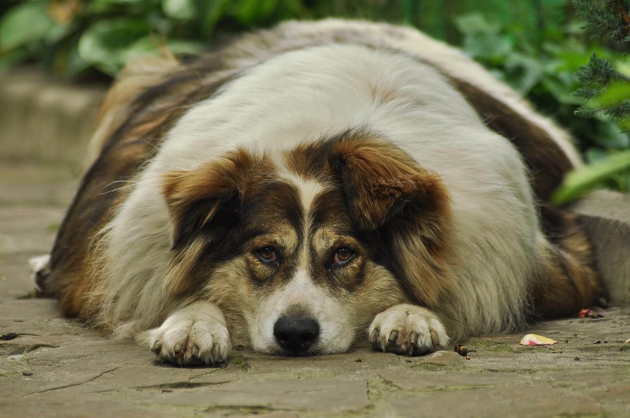 Grossesse canine en bonne santé