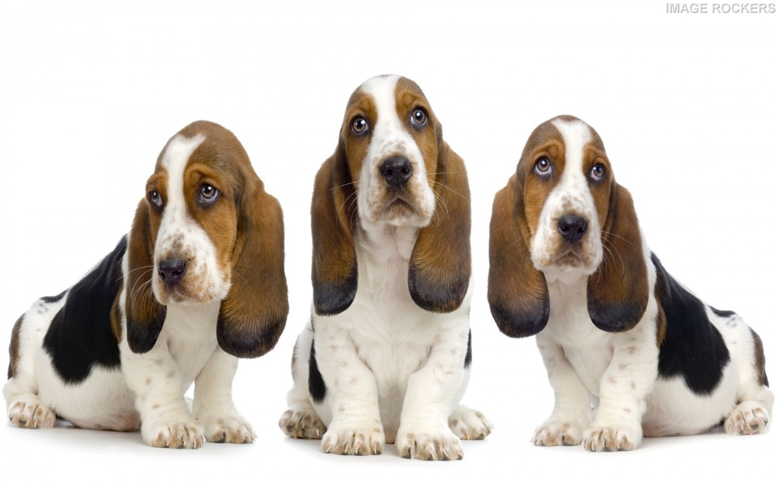 LATEST WALLPAPERS: Basset Hound dogs wallpapers, Dogs ...