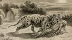 Hổ cái Champawat Kẻ săn mồi đáng sợ nhất trong lịch sử thế giới