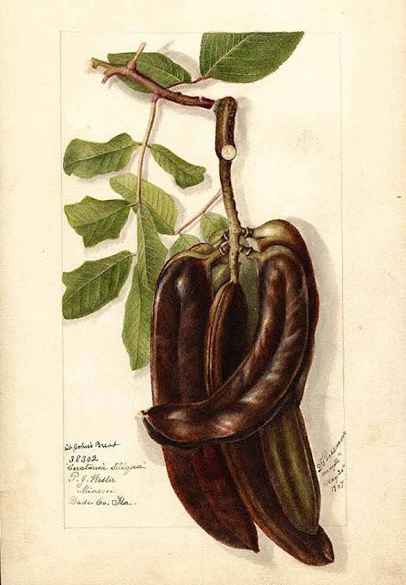 Szarańczyn strąkowy, drzewo karobowe, karob, chleb świętojański - opis, uprawa, pielęgnacja, historia, pochodzenie, nazewnictwo, rozmnażanie, wygląd, hodowla w domu