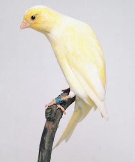 Suara Kicau Merdu Belgian Fancy Canary (Kenari Belgia) Gacor