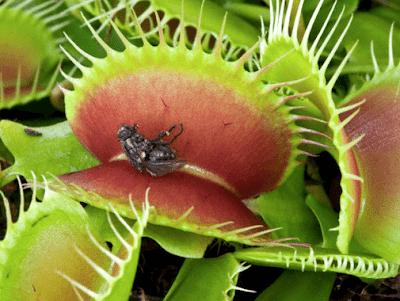 Plantas carnívoras fazem fotossíntese?