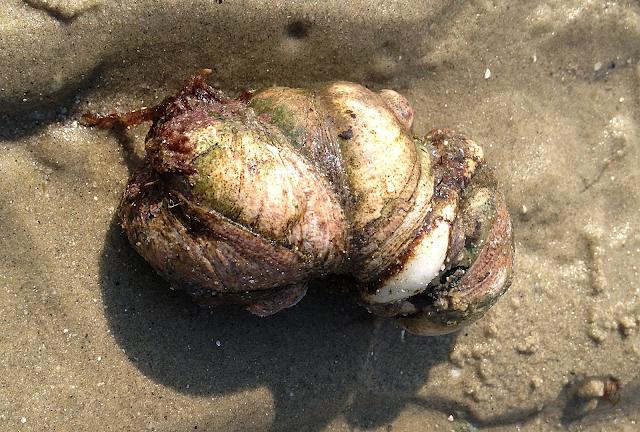crepidule peche mollusque