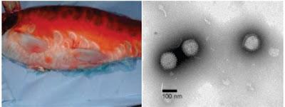 Penyakit Virus Pada Ikan : Koi Herves Virus (KHV)