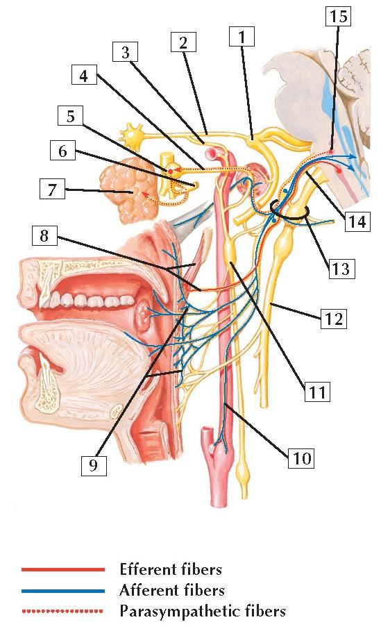 Glossopharyngeal Nerve Anatomy